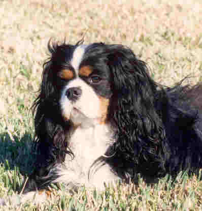 Image of: Cavalier Health Episodic Falling Syndrome And The Cavalier King Charles Spaniel