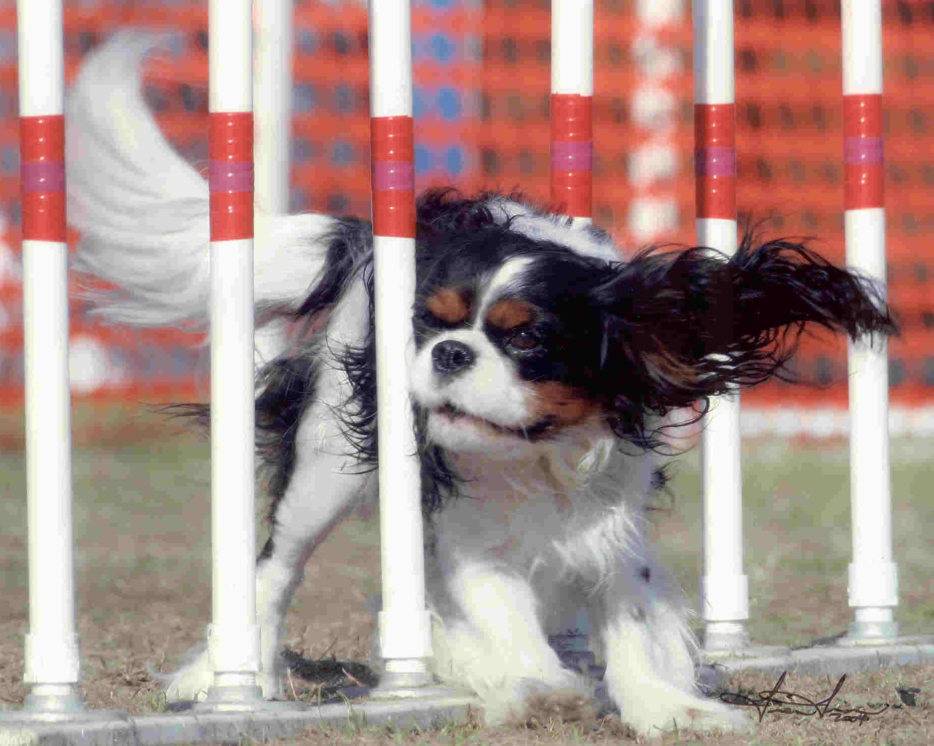 Hip Dysplasia And The Cavalier King Charles Spaniel
