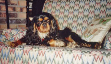cataracts and the cavalier king charles spaniel