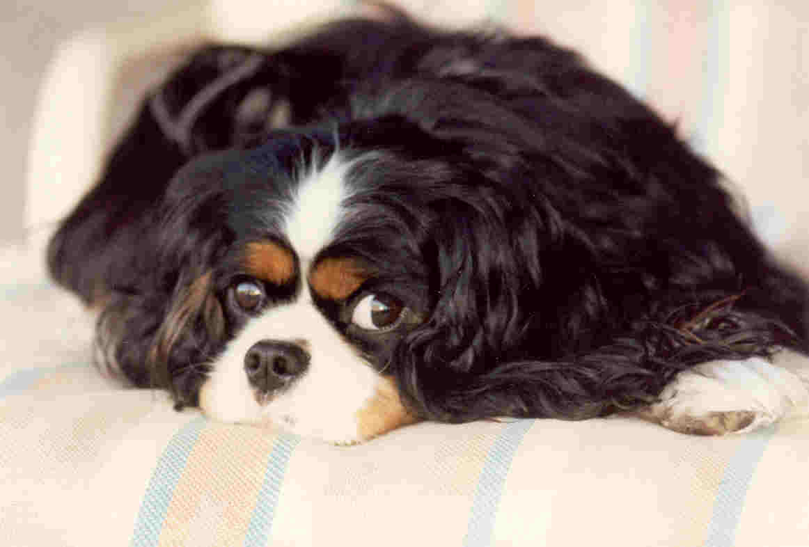 Cavalier King Charles Spaniel: reviews, breed description, character, standards 91