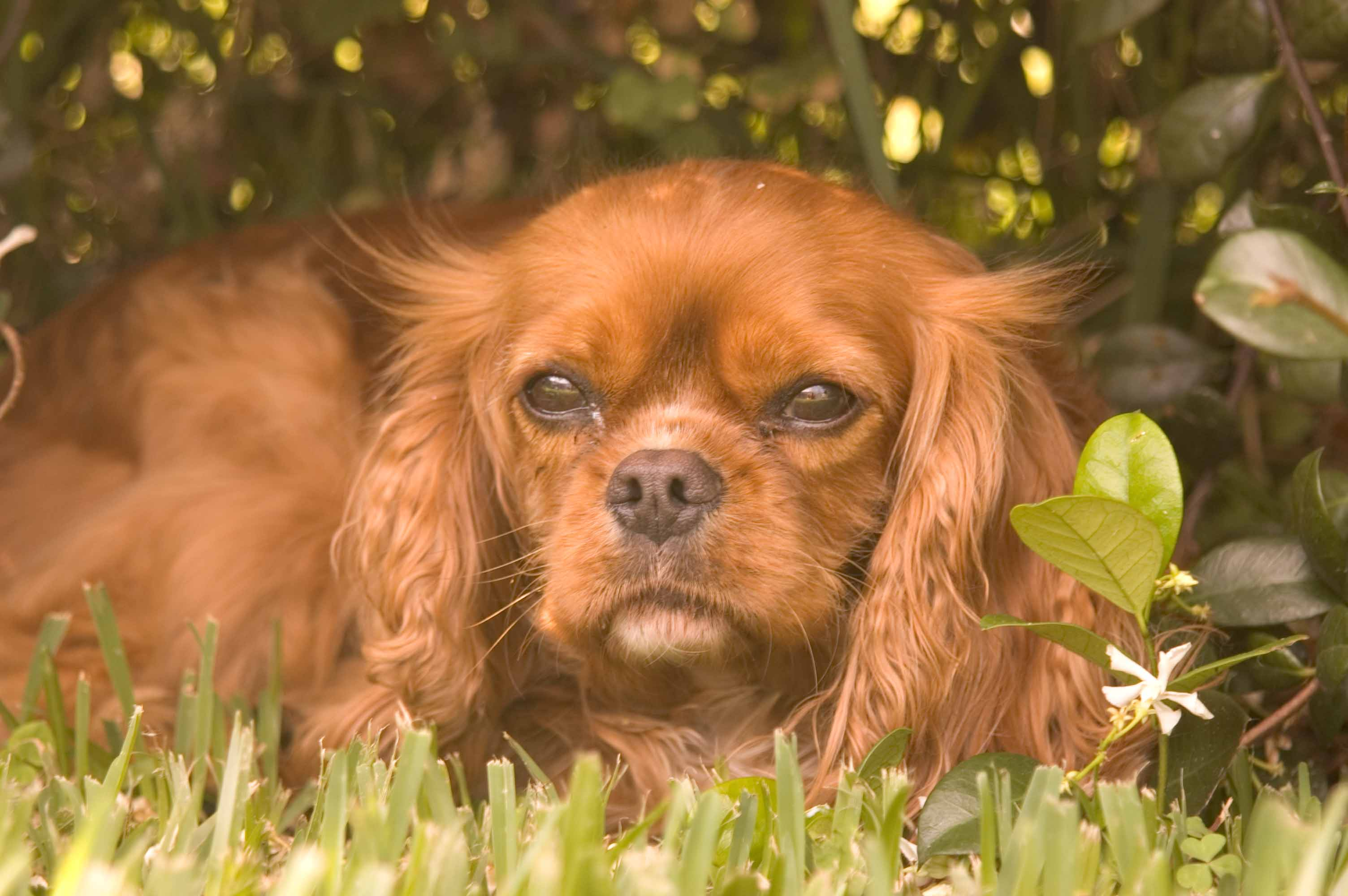 Cavalier King Charles Spaniel Rescue Groups - photo#3