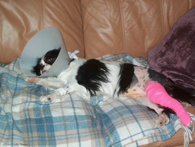 patellar luxation and the cavalier king charles spaniel