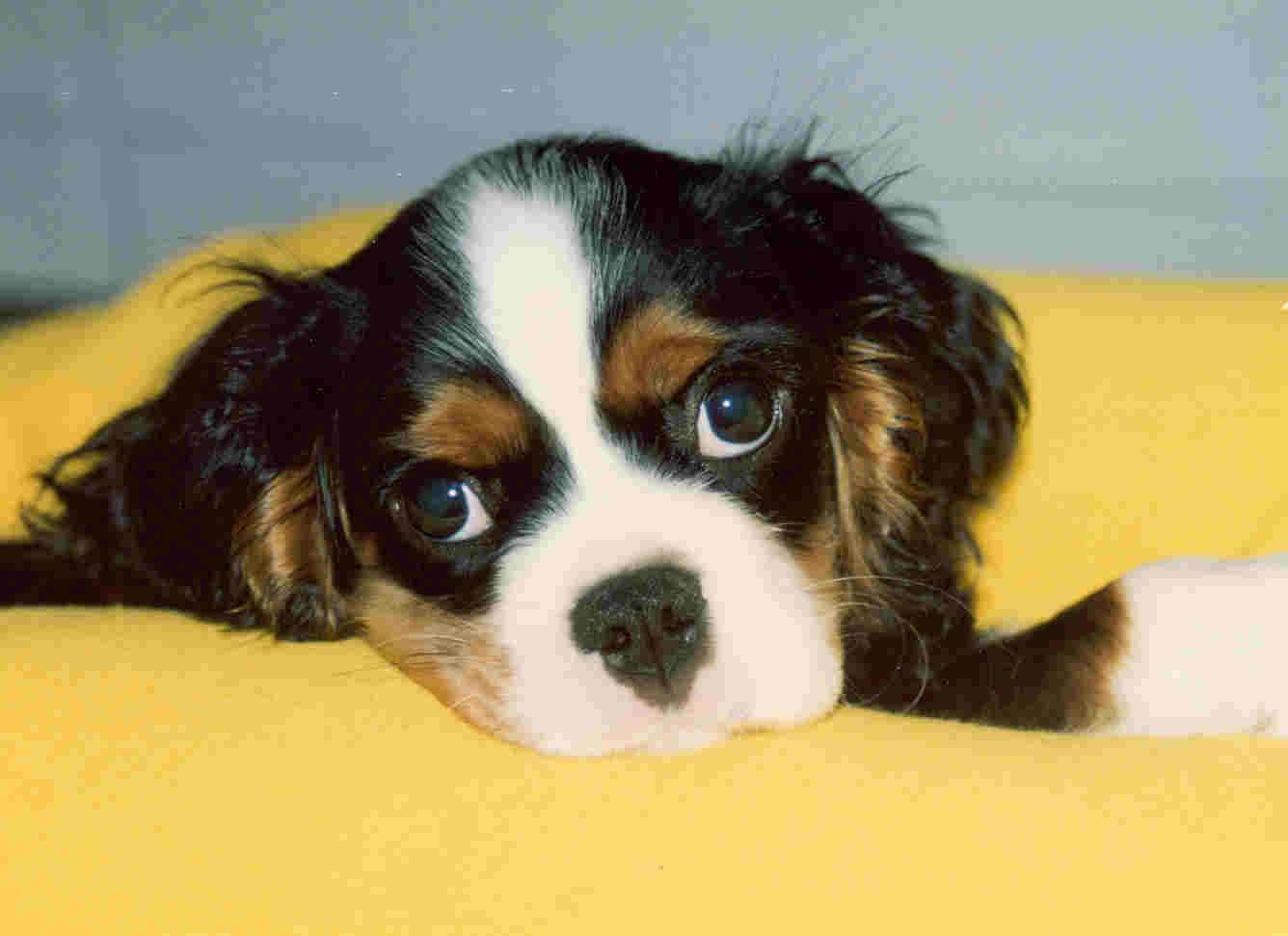 Syringomyelia Sm And The Cavalier King Charles Spaniel