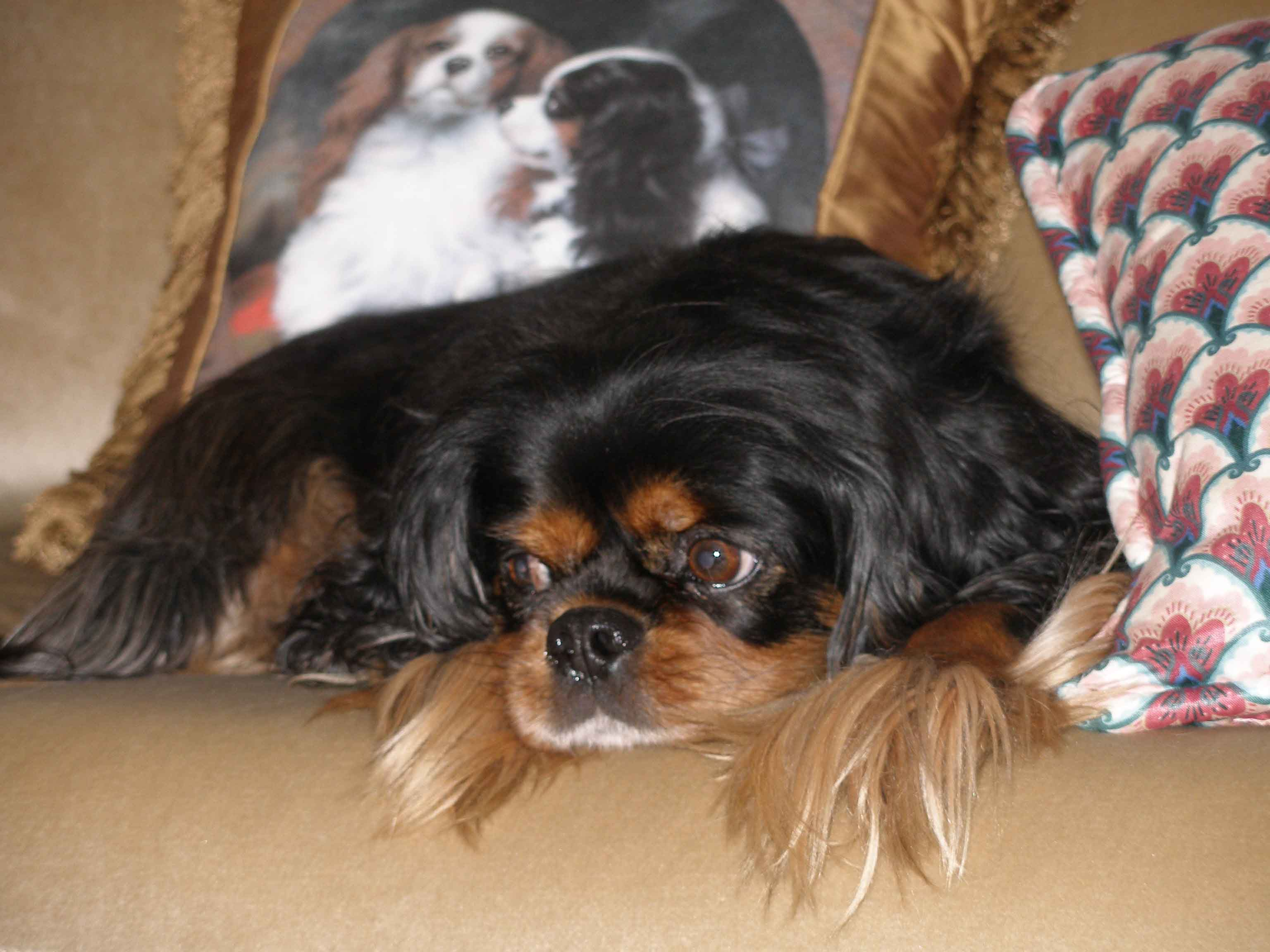 10 Questions For Breeders Of Cavalier King Charles Spaniels