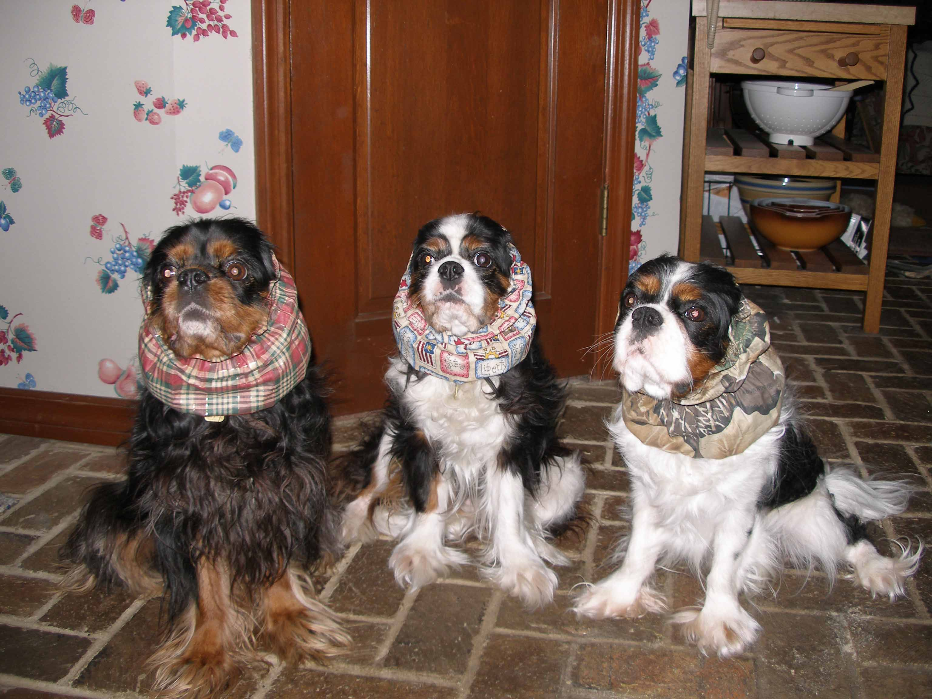 Image of: Esa Diets For Cavalier King Charles Spaniels
