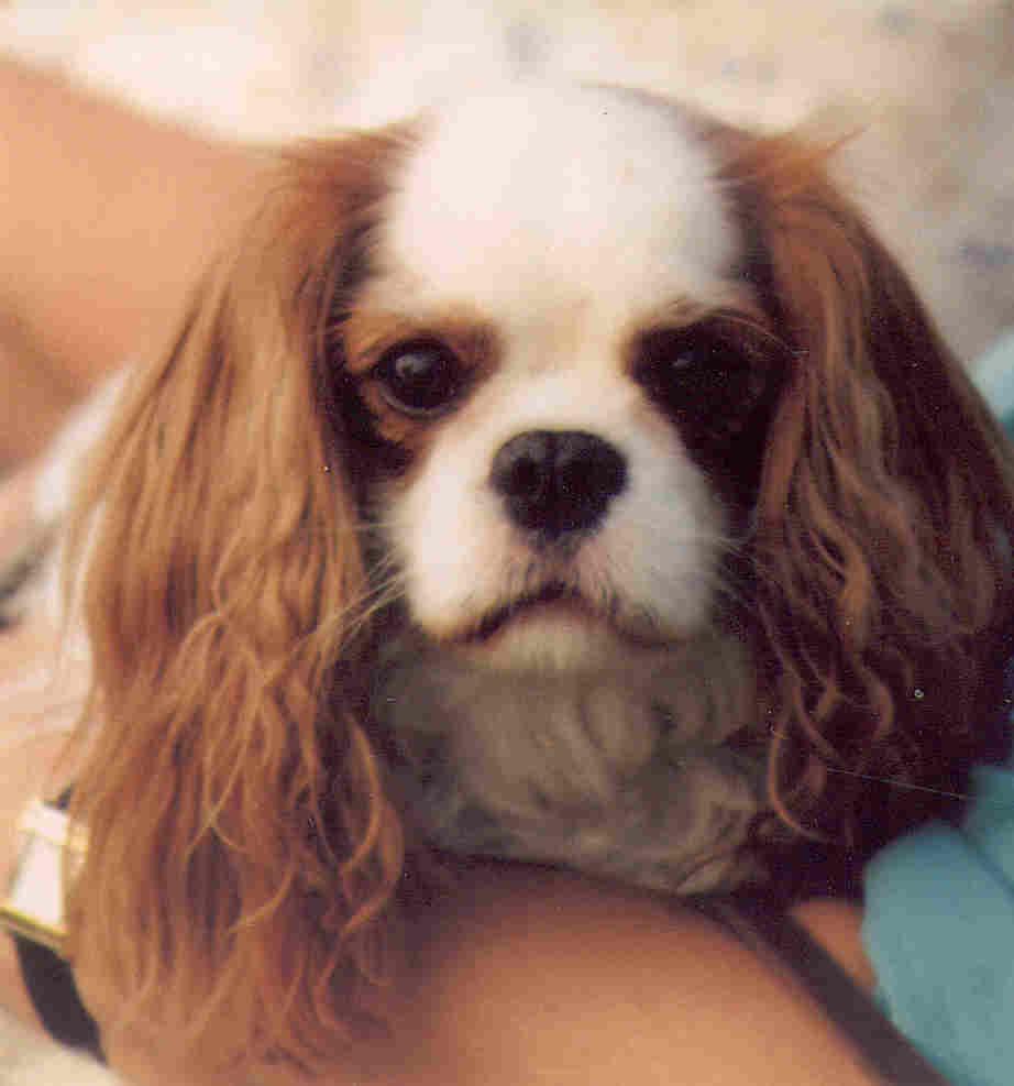 Cavalier king charles spaniel health genetic diseases rescue a cavalier nvjuhfo Choice Image