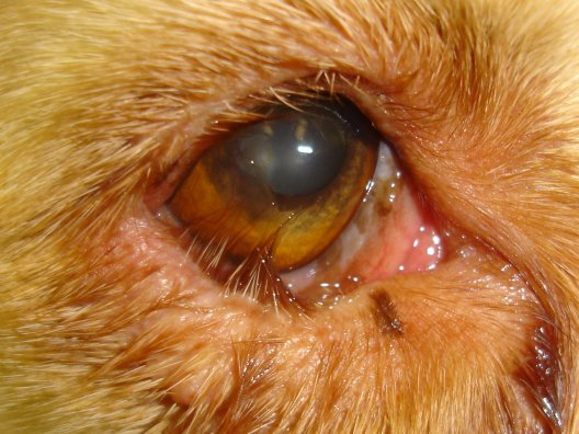 Bệnh Lật Mí Mắt ở chó
