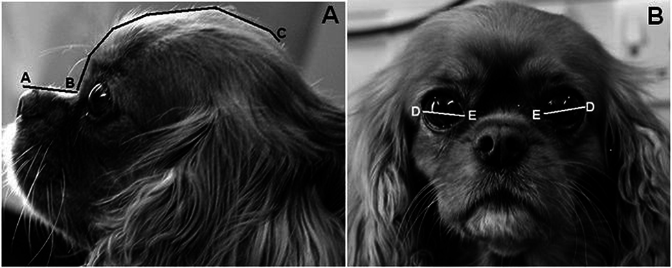 Cavalier King Charles Spaniel has a craniofacial ratio of 0.27