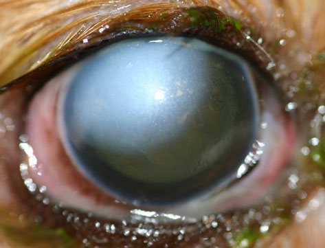 Corneal Ulcers and the Cavalier King Charles Spaniel