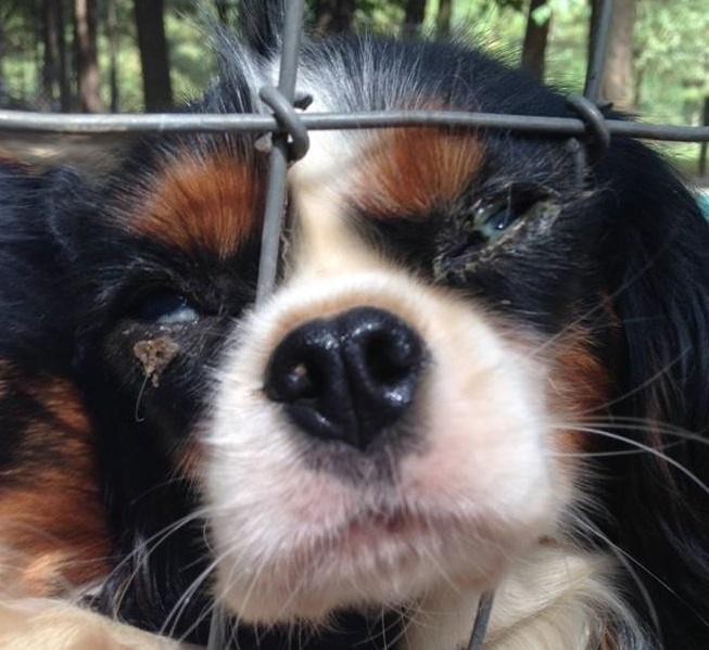 Cavalier with dry eye