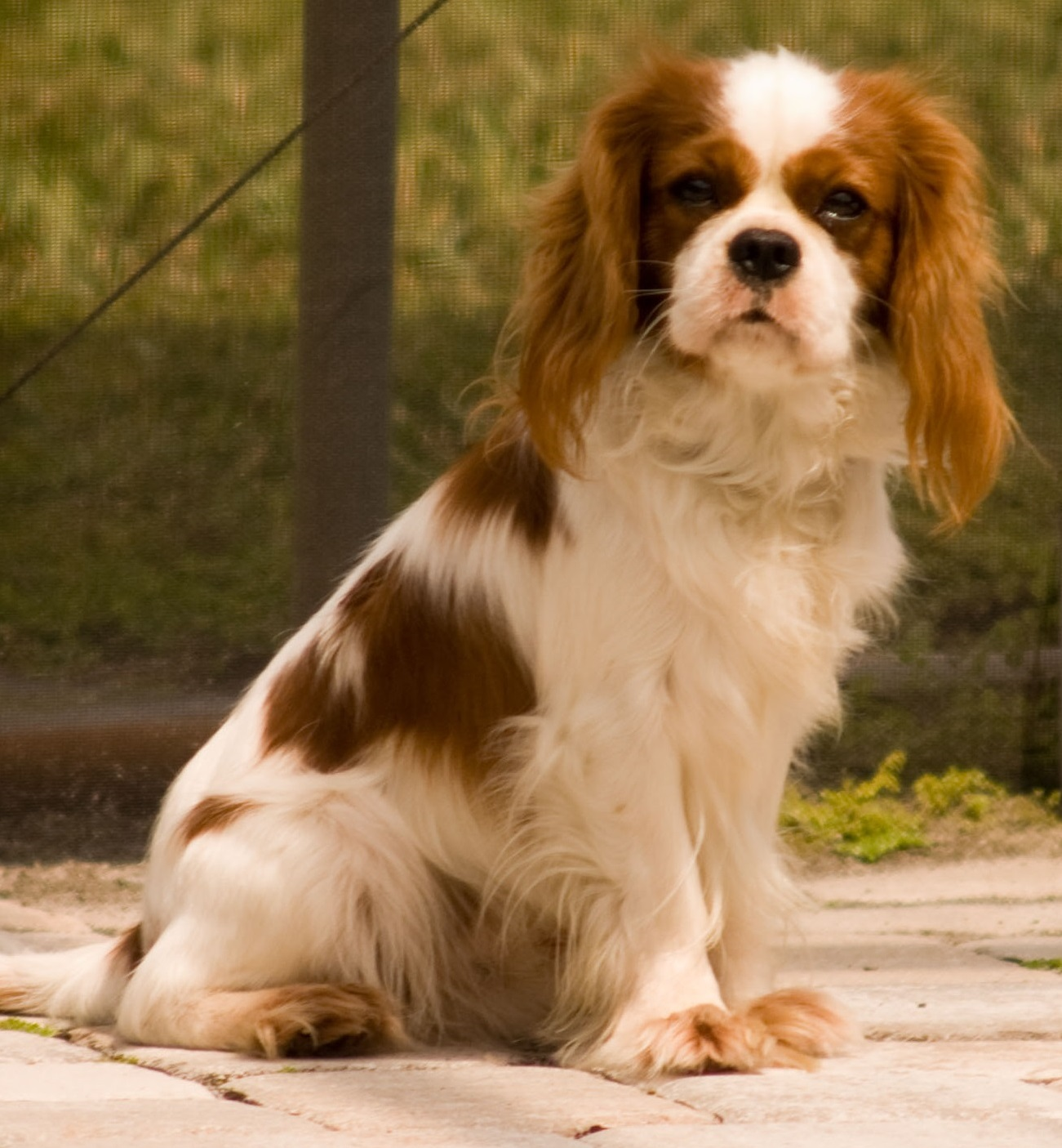 Cavalier king charles spaniels miscellaneous disorders nvjuhfo Image collections