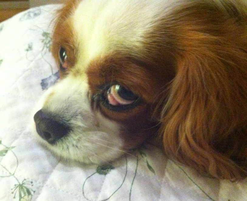 Cavalier King Charles Spaniel with Cherry Eye