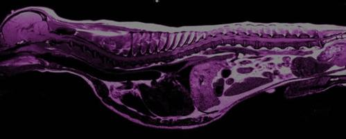 MRI Scan of Cavalier King Charles Spaniel by RVC