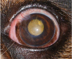 Dry Eye Syndrome and the Cavalier King Charles Spaniel
