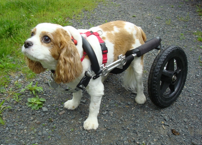 Degenerative Myelopathy and the Cavalier King Charles Spaniel