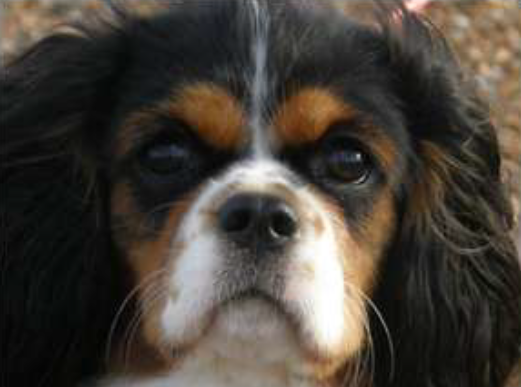 Same cavalier after medicated for SM pain