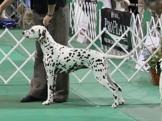 Fiona Grand Champion LUA Dalmatian