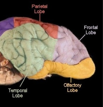 Normal Canine Forebrain
