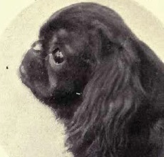 1910 English Toy Spaniel Ch. Ashton More Baronet