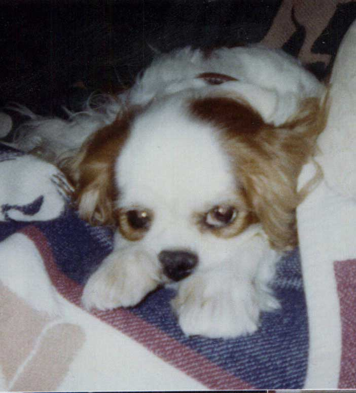 Cancer And The Cavalier King Charles Spaniel