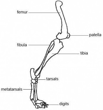 Canine Patella Diagram