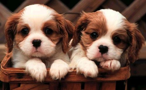 Cavalier Blenheim Pups