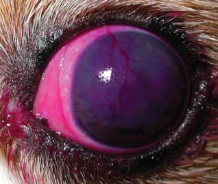 Rose Bengal Stained CKCS Eye