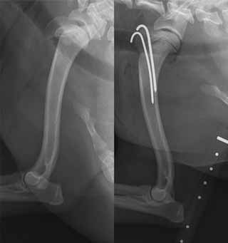 CKCS with humerus physeal fracture
