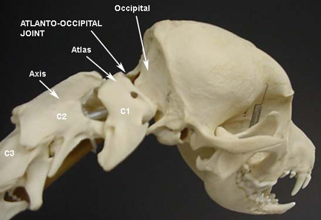 Joint between atlas and occipital bone