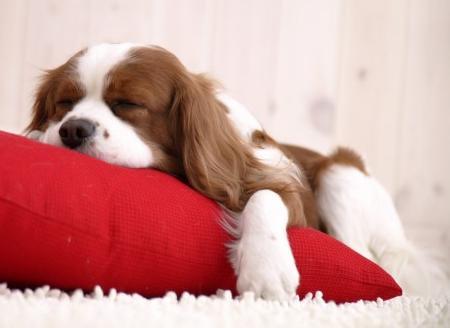 Sleeping Cavalier