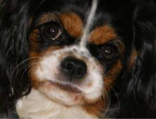 Cavalier in severe pain due to SM - Dr. Clare Rusbridge